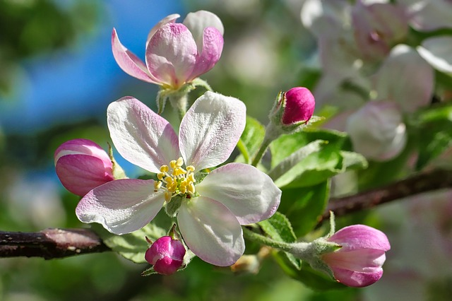 plantefamilien til eplet