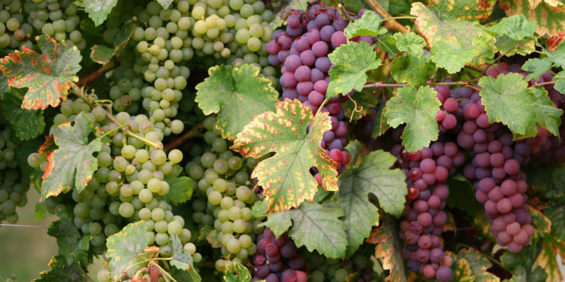 vindruer druer til vin